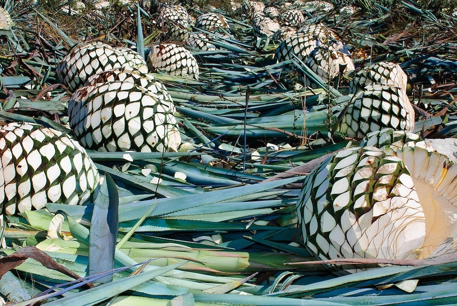 3-Step Agave Process