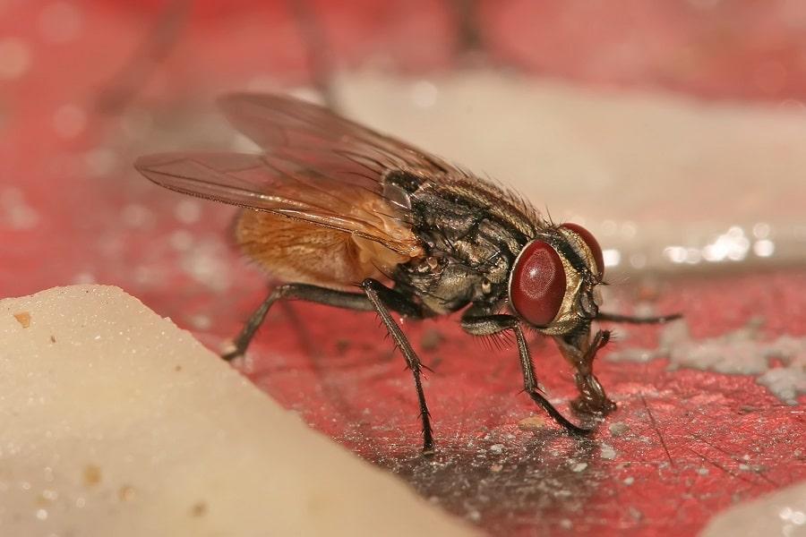 Diseases Caused by Flies