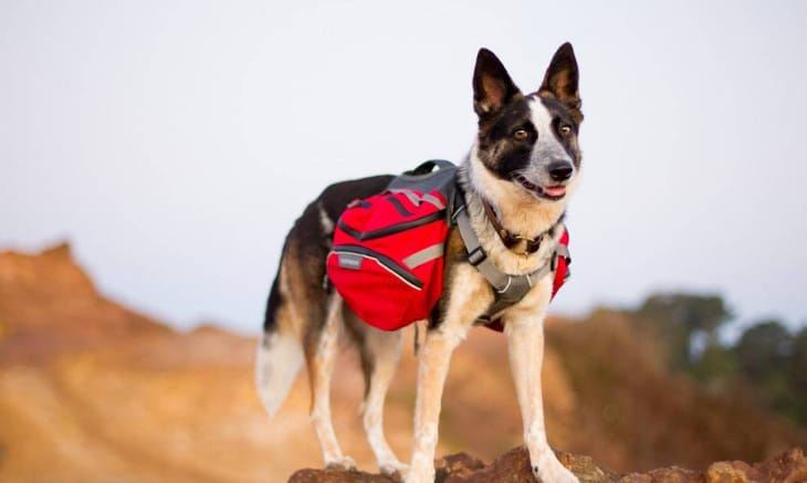 Dog carrying hiking bag