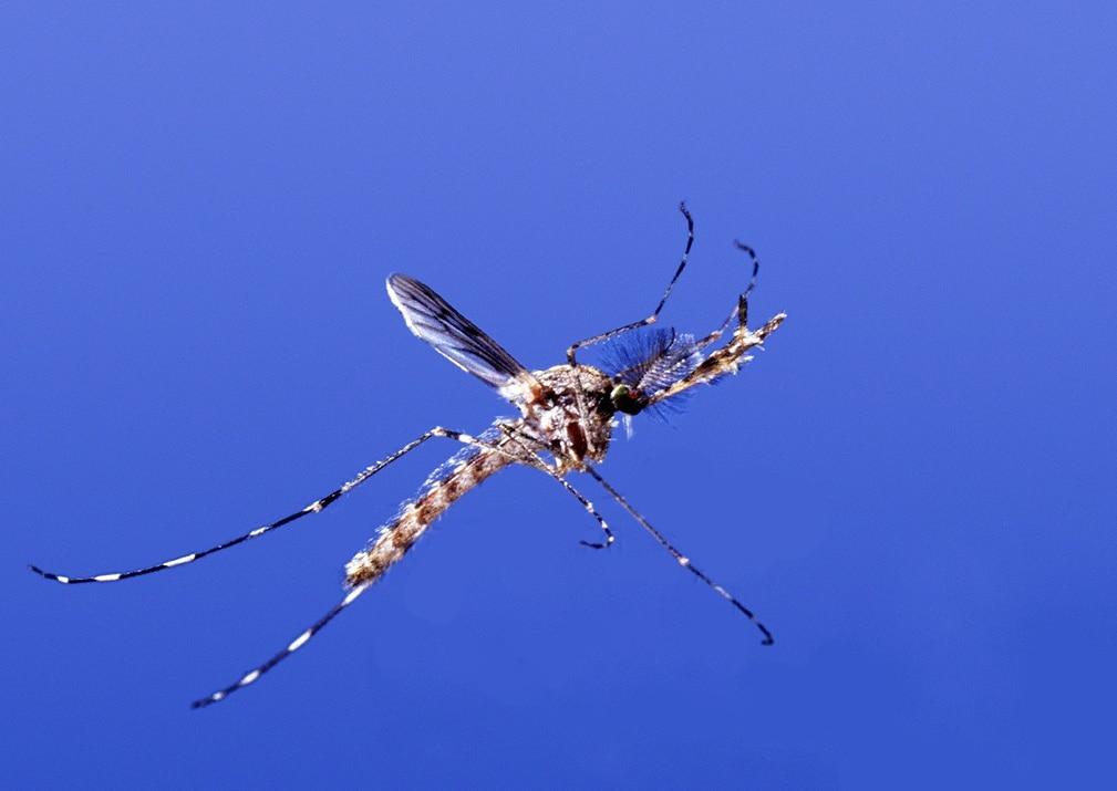 Mosquito in flight