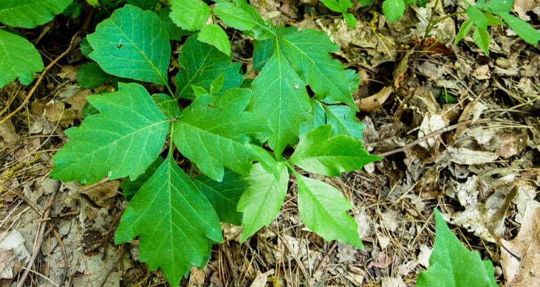 Poison ivy in the woods