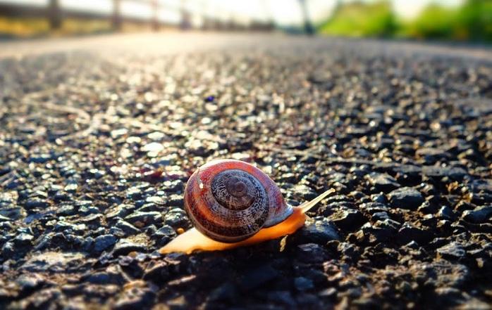 otala snail