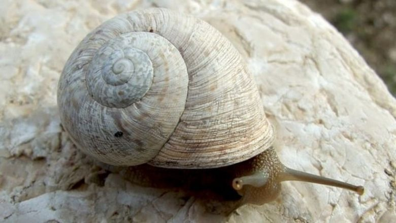 Iberus snail