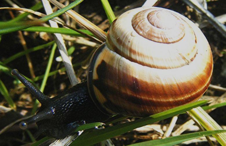 cepaea snail