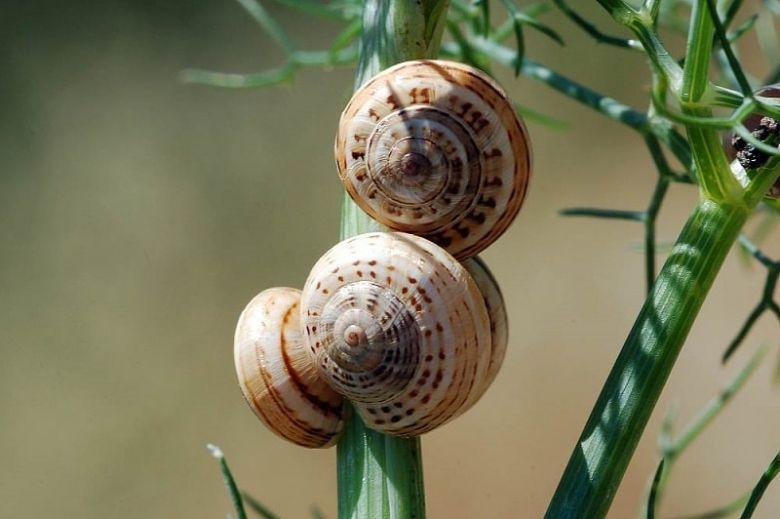 theba snails