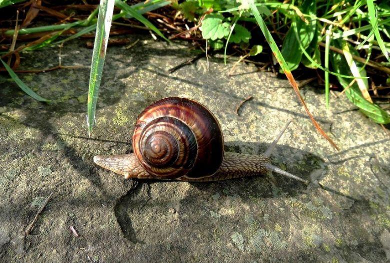 lucorum snail