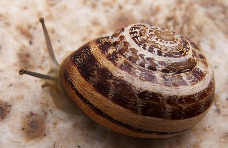 eobania snails