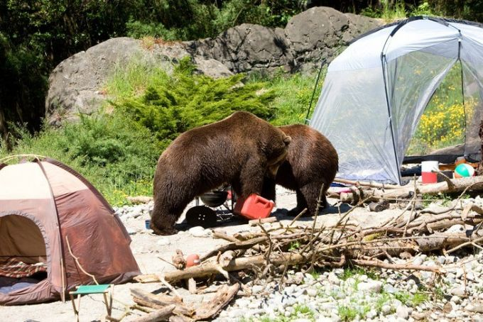 bear on campsite