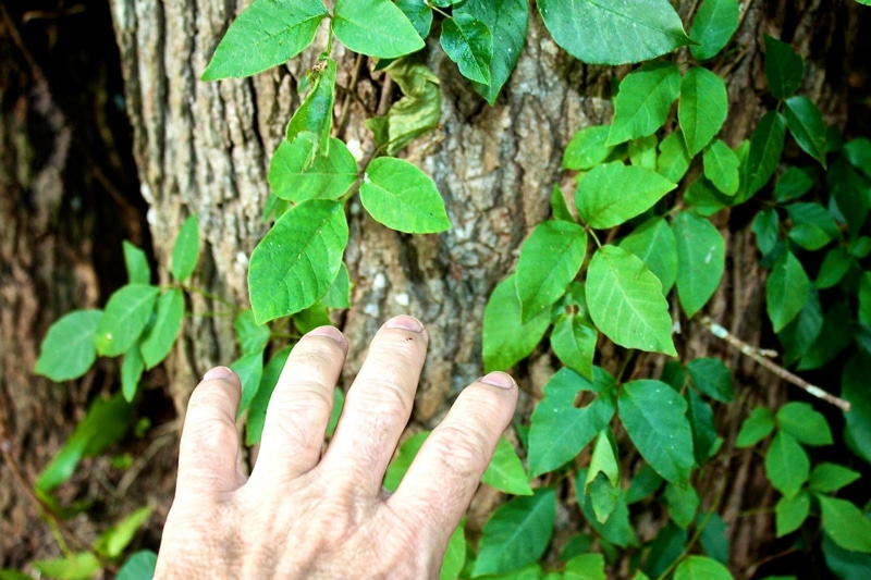 Trying to grab poison ivy