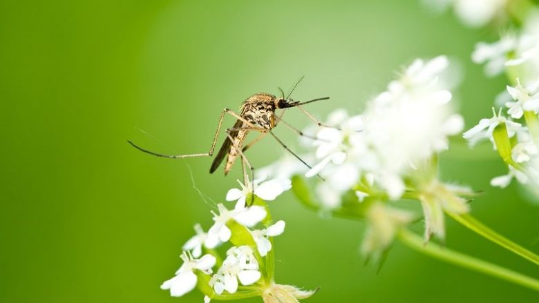 Mosquito on flowers