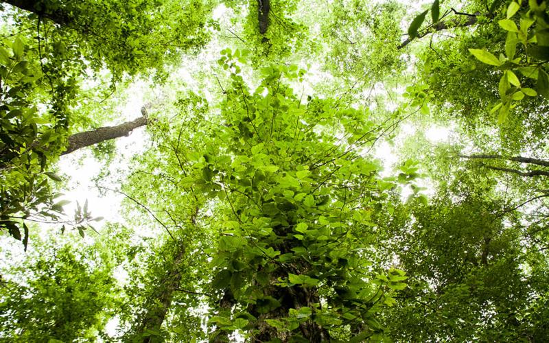 poison ivy climbing