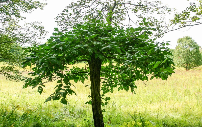 poison ivy tree in nature