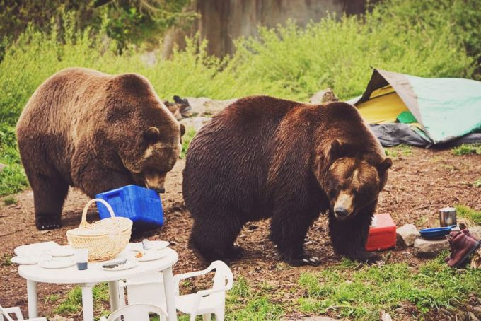 bears attacking campsite