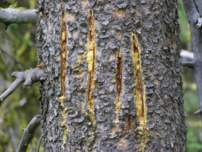 Bear scratch marks on trees