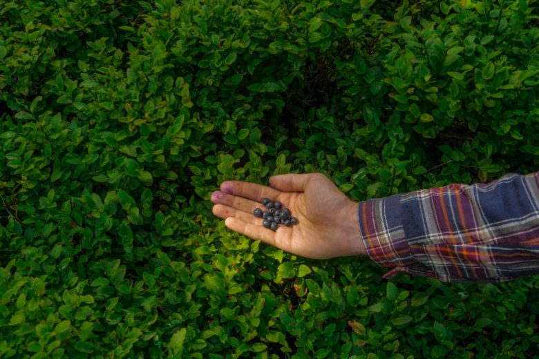 blueberry foraging