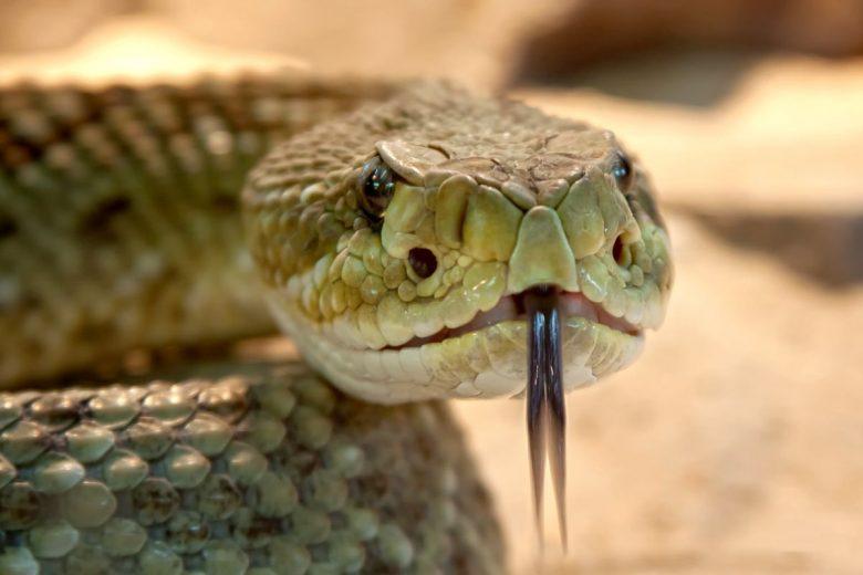 rattlesnake bite first aid