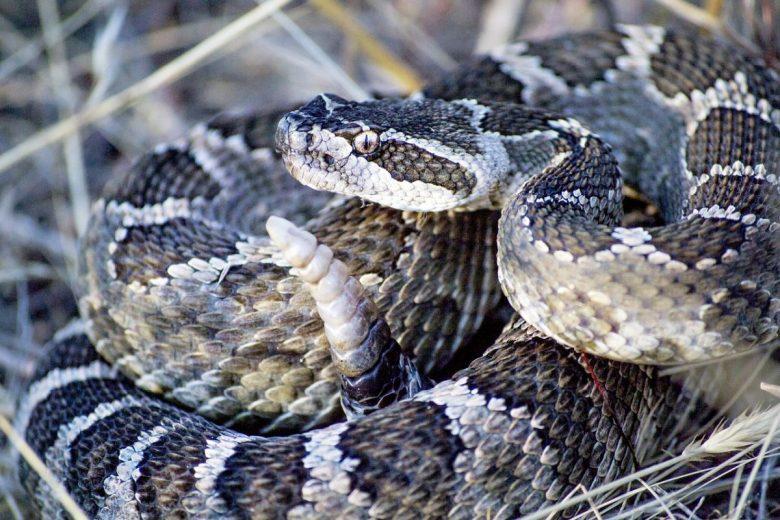 rattlesnake bite signs