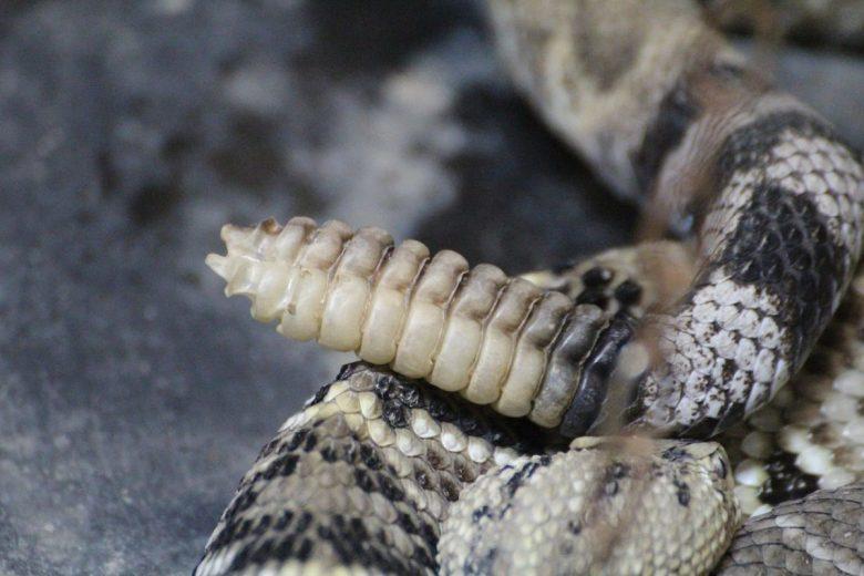 rattlesnake tail