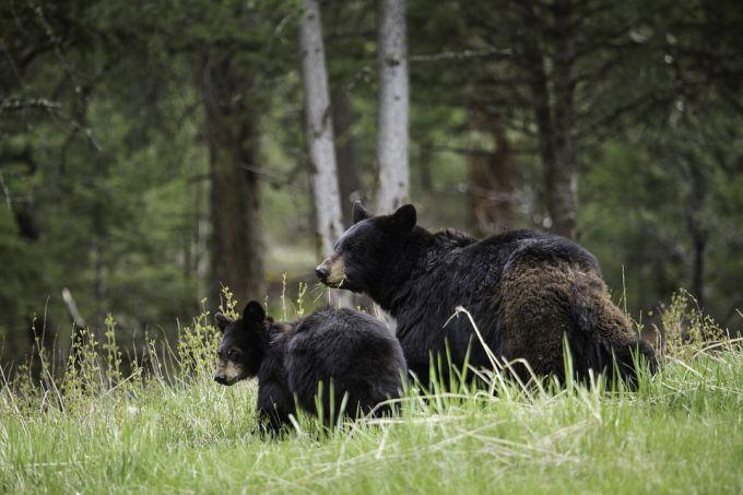 Bear Walking Away