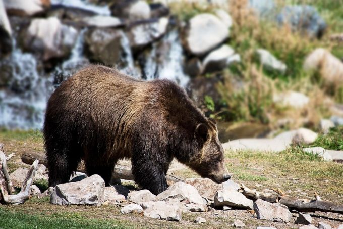 Bear in Wild