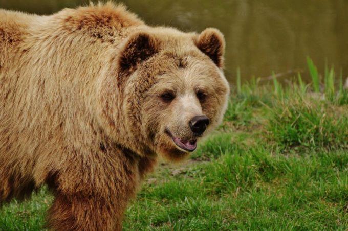 Bear Near the Water